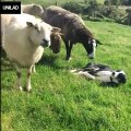 Sheepdog Is Scared Of Sheep