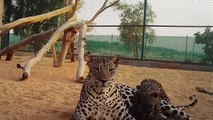 ولادة صغيرَين من النمر العربي في السعودية