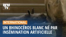 Un rhinocéros blanc est né par insémination artificielle en Californie