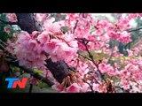 """""""Hanami porteño"""": las flores del sakura en Buenos Aires"""
