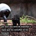 Nacimiento de un tapir en el Zoológico de Chester