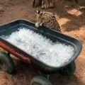 Ce serval vérifie la température d'un bac à glace avant d'agir. Regardez ce qu'il fait !