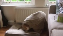 Beagle Covers Herself Cozily in Blanket Before Going to Sleep