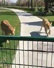 Reencontro entre dois leões e a criadora está a emocionar a Internet