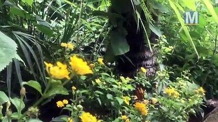 Les papillons sont au paradis au Carbet Amazonien