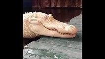 Avez-vous déjà vu un crocodile albinos... complètement blanc !!