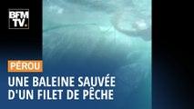 Une baleine à bosse sauvée d'un filet de pêche au Pérou