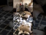 Guilty Dog Drops Ball from Mouth After Being Caught in the Act of Tearing up Cushions
