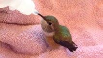 Il recueille un colibri et le nourri... Animal adorable