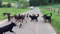 Impressionnant : ces chiens sont vraiment bien dressés !