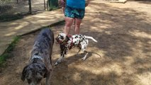 Great Dane Gently Bops Dalmatian on Head While Playing in Park