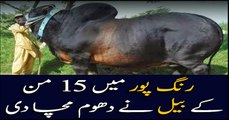 Giant Sultan from interior Punjab is ready to enter Karachi cattle market
