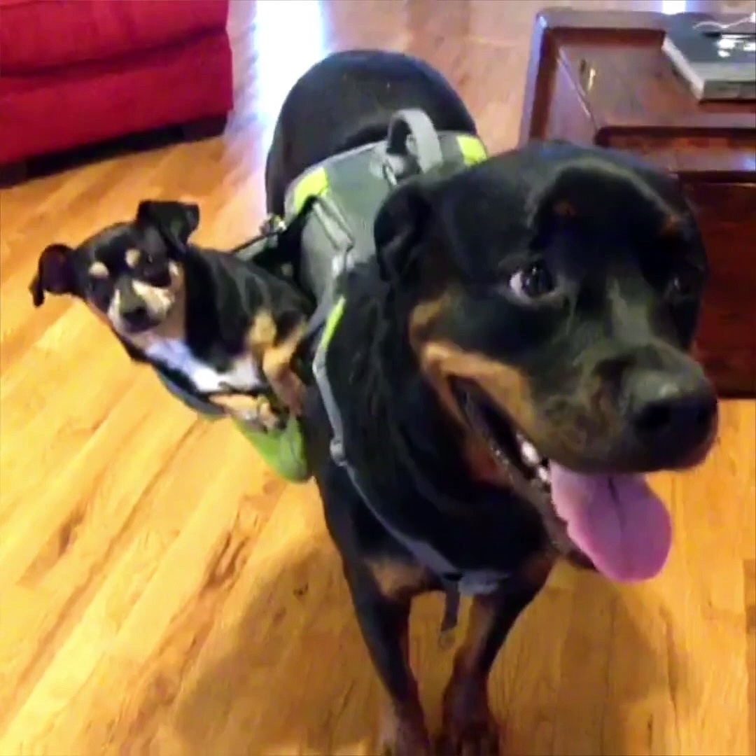 Breed All About It: Rottweilers