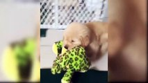 Funny And Cute Golden Retriever Puppies Compilation 2019 - Cutest Golden Retriever Puppy Ever