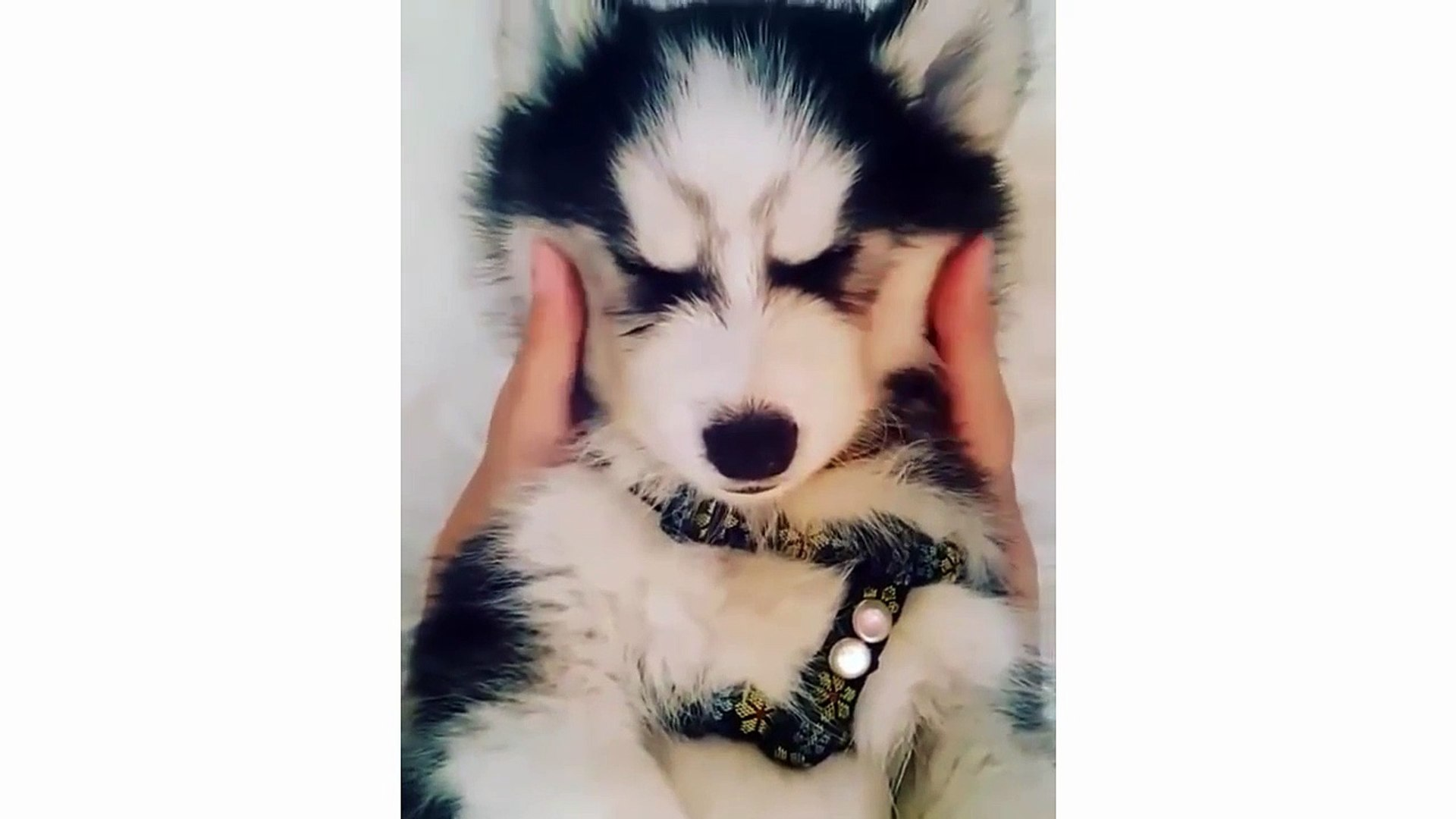 Funny And Cute Husky Puppies Compilation - Cute Husky Dog video