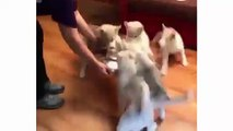 Funny And Cute Husky Puppies Compilation - Cutest Husky Dog Video - Cute Puppies Doing Funny