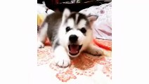 Funny and cute husky puppies compilation #1 - Cute dog videos doing funny things - Puppies TV