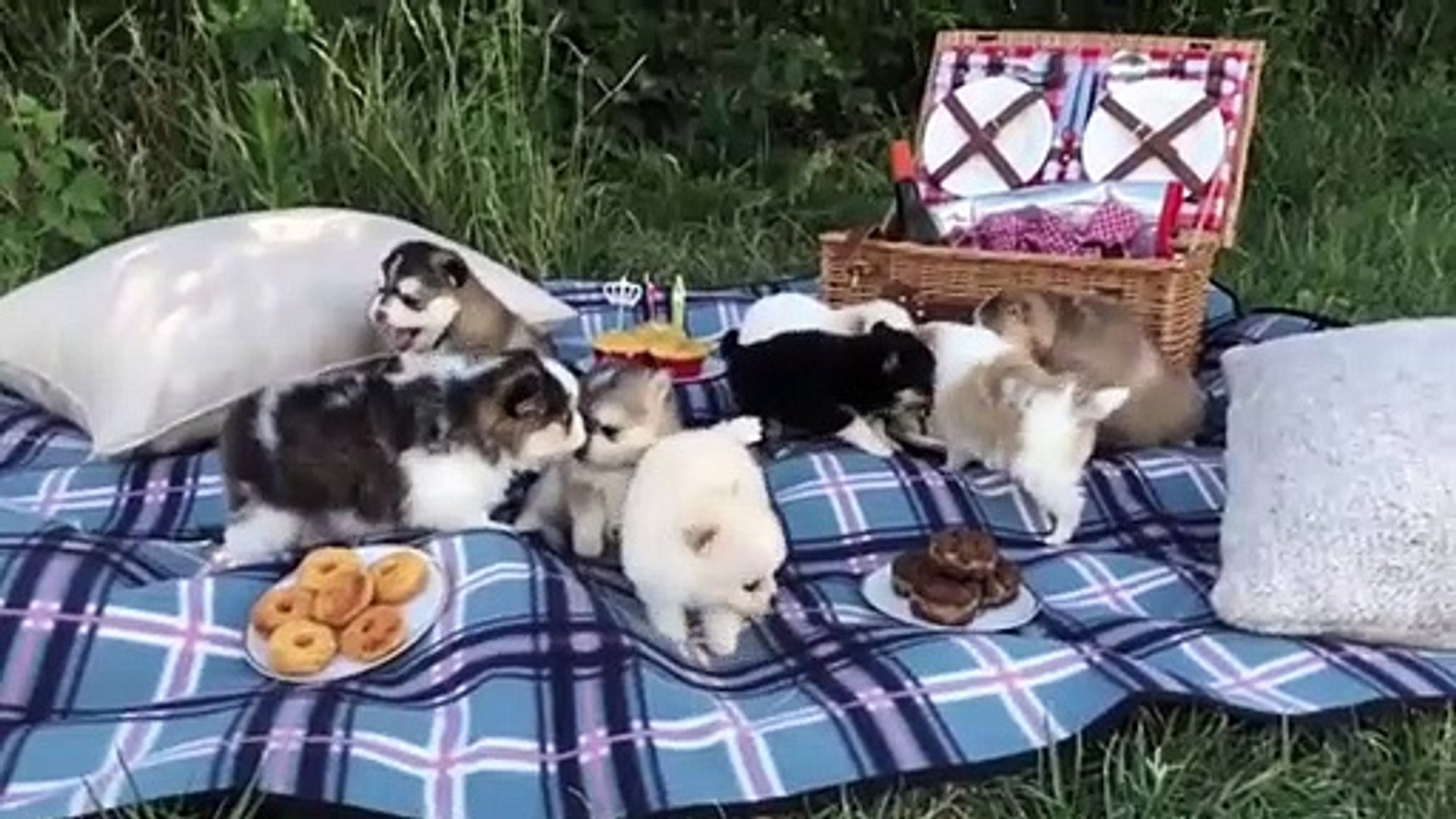 Cutest Husky Puppy Ever Funny And Cute Husky Puppies Compilation Puppies Tv Video Dailymotion
