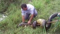 Assistez à la capture d'un énorme anaconda monstrueux