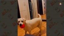 Funny Labrador Retriever Videos 2017 - 6