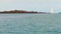 Les dauphins en baie du Mont-Saint-Michel