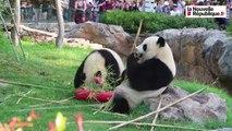 VIDEO. Le petit panda du zoo de Beauval a déjà deux ans !