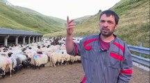 Pyrénées : transhumance des brebis et peur de l'ours