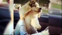 Cutest Puppies Golden Retriever - Cutest Puppies Of The World - Puppies TV