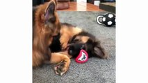 Funny And Cute German Shepherd Puppies Compilation - Cute Puppies & Cute Puppy