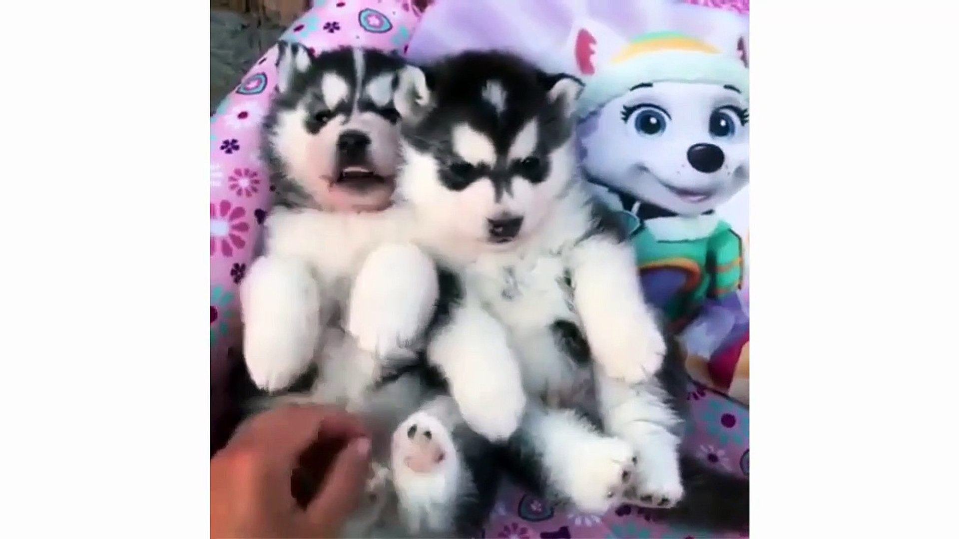 Funny And Cute Husky Puppies Compilation - Cute Alaska Puppies Video