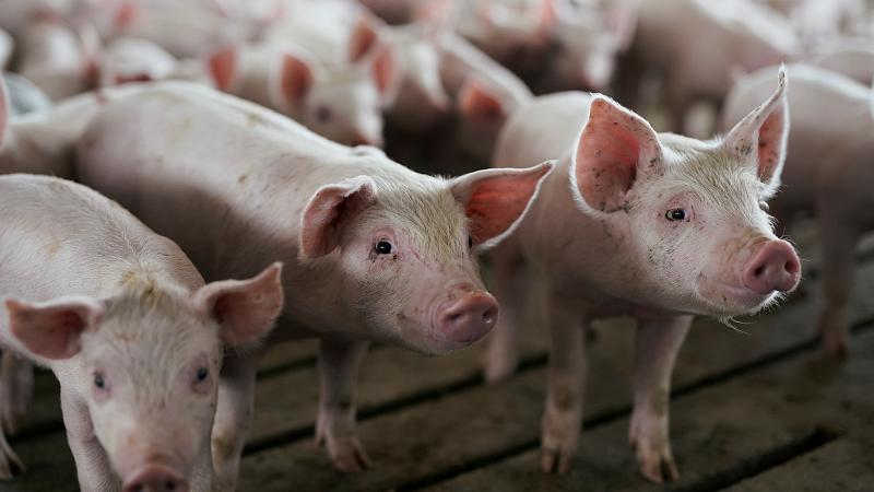 Pork industry at risk as swine fever hits farms across Eastern Europe