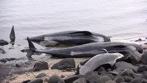 Twenty pilot whales die after getting stranded on Iceland beach