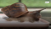Polish woman has SNAIL of a time with world's slowest pet