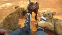 Quoi de plus mignon que ces lionceaux et ces bébés hyènes qui jouent ensemble