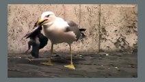 Quand les mouettes se mettent à manger les pigeons...