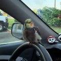Lorsqu'un perroquet veut conduire la voiture de son maître. Marrant !