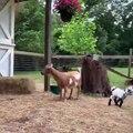 Lorsqu'un bébé chèvre est de bonne humeur. Voici ce que ça donne !