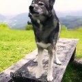 Ce loup a d'incroyables talents d'acrobates. Admirez !