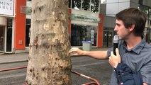 Nantes. Deux platanes malades à Talensac : dix-huit arbres abattus