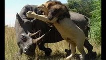 Lion vs Rhino  - Buffalo vs Rhino -  Real Fight Wild Animal Attacks