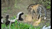 Honey Badger Saves Baby From Leopard