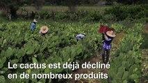 Au Mexique, du plastique à partir du cactus