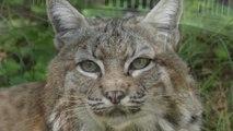 Rehab Bobcats: Meet Rain And Dancer