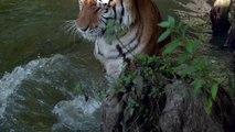 Slow Motion Tiger Splashing