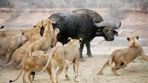 Pack of Lions Hunting Buffalo up to End Way - video dailymotion