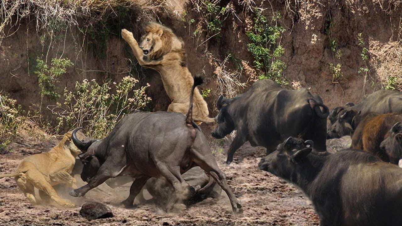 When The Buffaloes No Choose To Run Away – Buffalo Make Poor Face Of Lion