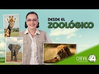 Desde el Zoológico   Embarque de jirafa