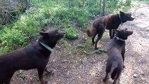 3 chiens parfaitement immobiles