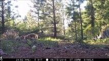 La seule meute de loups de Californie filmée par des caméras de surveillance