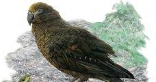 Un perroquet géant, qui mesurait 1m de long, vivait en Nouvelle-Zélande il y a 19 millions d'années